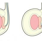 testículos