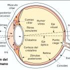 Sección de un ojo